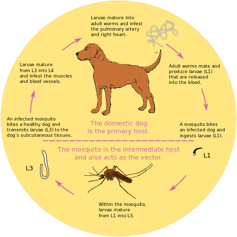 How To Cure Heartworms In Dogs