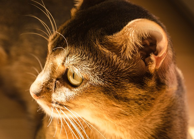 How To Cure Ear Mites In Cats