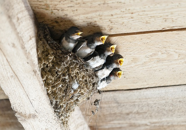 Health benefits of swallow nest