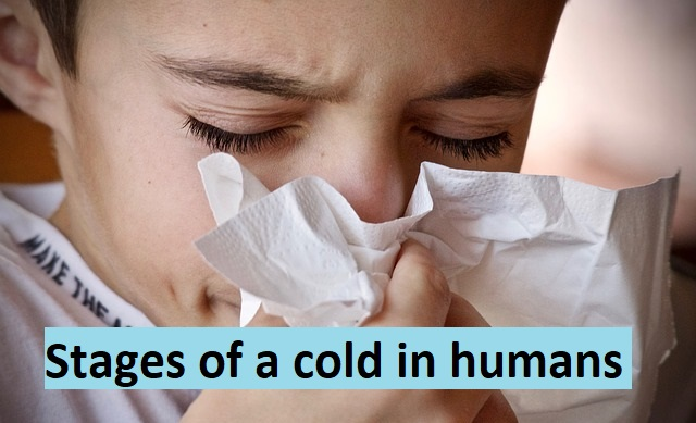 Stages of a cold in humans