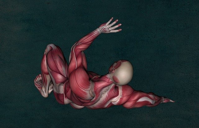 Facts About The Muscular System