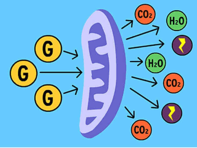 Cellular respiratin
