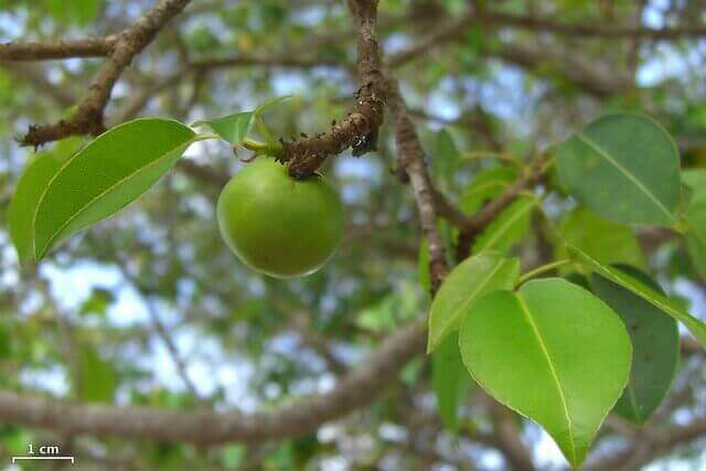 Dangerous Plant That Causes Blindness - Manchineel