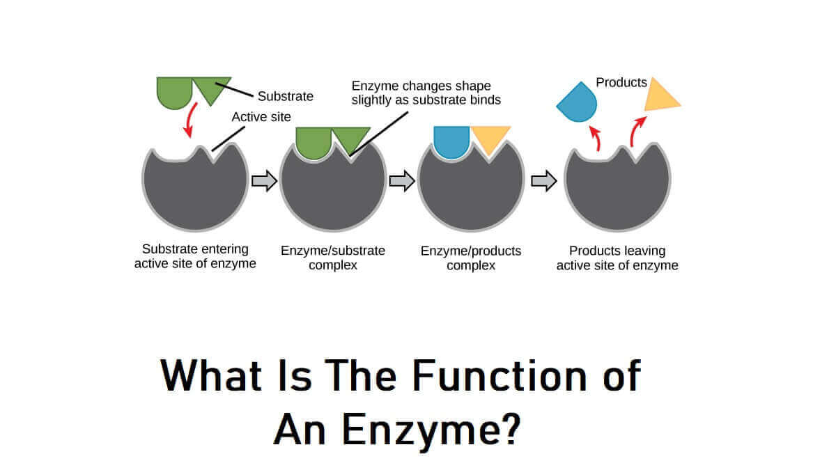 What Is The Function of An Enzyme