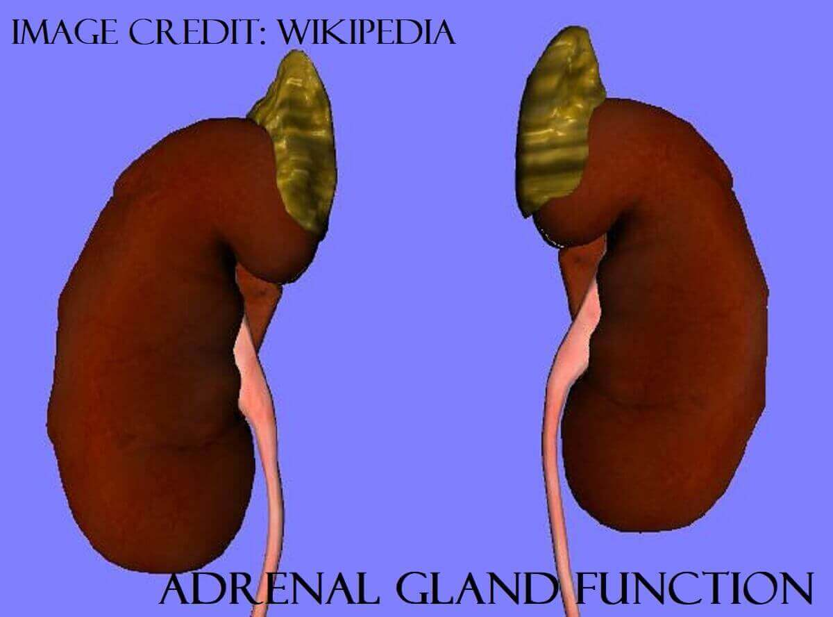 Adrenal Gland Function